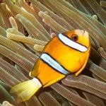 Papel de Parede - Mergulho no Japão - Coral Diving-4