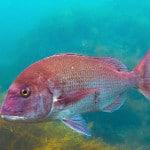 Papel de Parede - Mergulho no Japão - Coral Diving-8
